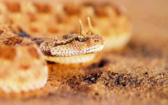 рогатая, snake, viper