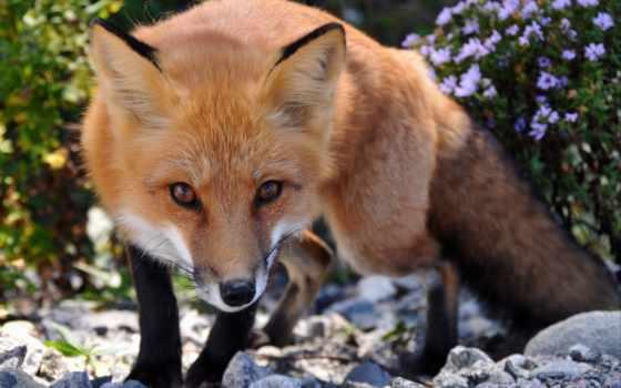 фокс, лисы, zhivotnye, код, взгляд, лис, об, рыжая,