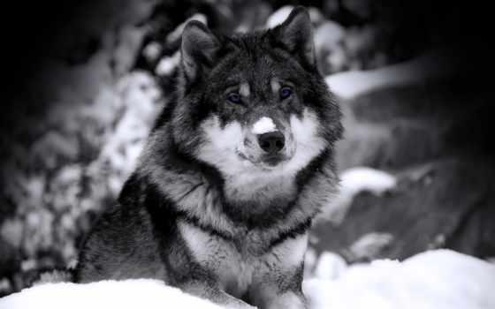 волк, winter, снег