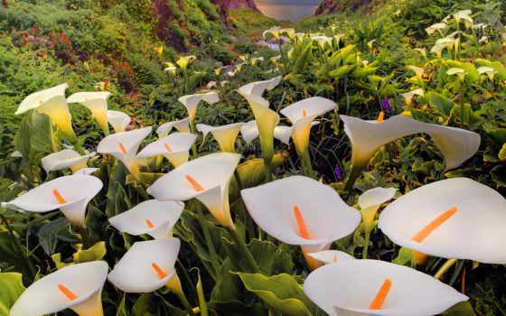 каллы, цветы, калифорнийской, долине, побережье, тихого, весной, регионе, фирмы, биг, океана,