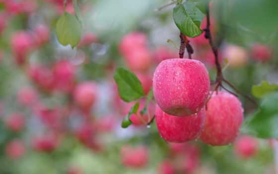 яблоки, ветке, branch, росы, капельках, розовые, капли, благо, еда, листва,
