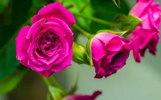 розы, cvety, бутоны, лепестки, макро, розовые,