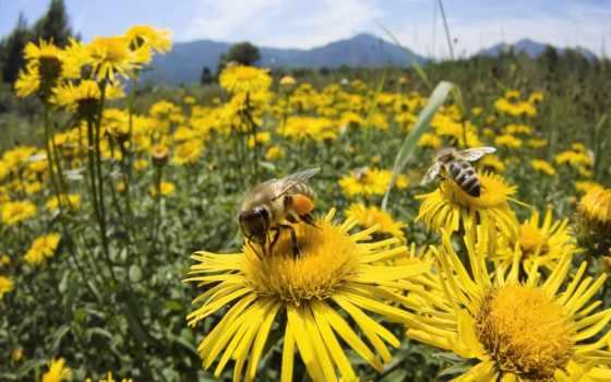 пчелы, пчелка,