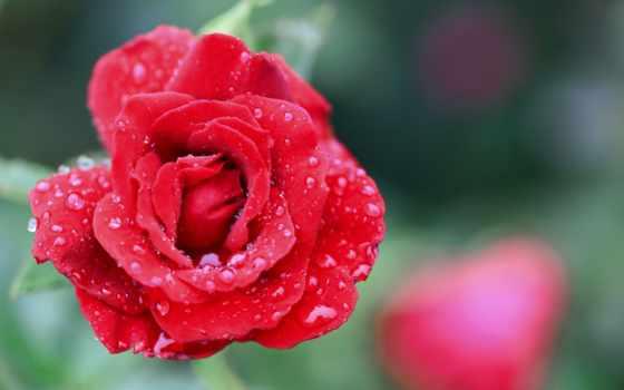 роза, mobile, телефон, картинку, бесплатную, картинка, flowers, rosas,