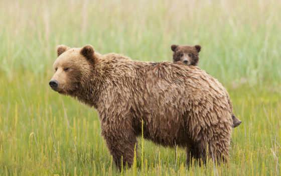 медвежонок, медведи, медведь