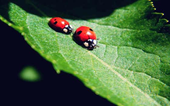 ladybug, animals, desktop