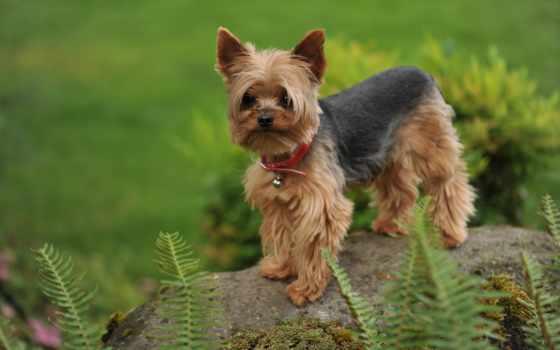бультерьер, йоркширский, собак