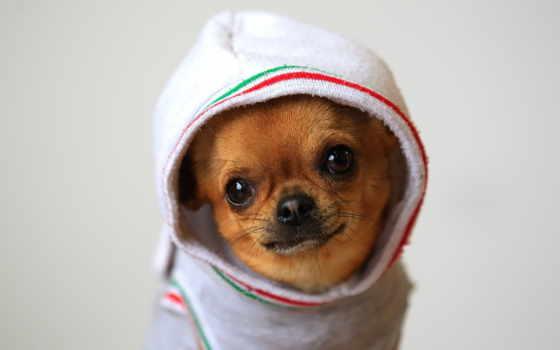 собаки, чихуахуа, собака, бультерьер, маленькая, широкоформатные, породы, всяких, корзина, mastiff,