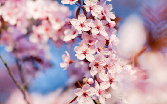 cherry, вишни, цветение, цветы, когда, цветет,