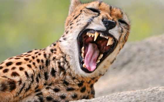 гепард, злой, хищник, кот, большая, морда, зевает, бежит,