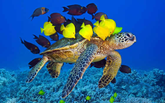 ,, морская черепаха, позвоночное животное, hawksbill sea turtle, olive ridley sea turtle, loggerhead sea turtle, green sea turtle, черепаха, kemp's ridley sea turtle, морская биология, пресмыкающееся, coral reef fish, морская жизнь, морское млекопитающее, обои, коралловый риф, океан, море