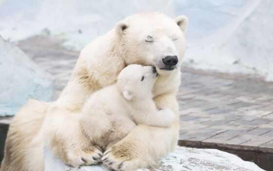 медведь, polar, детёныш, mom, день, мама, she, ingushskii, международный, animal