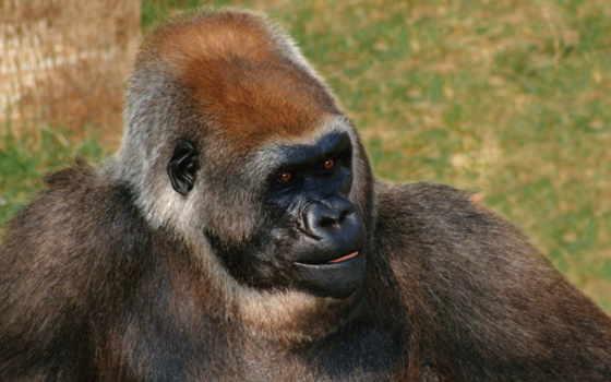 обезьяна, горная горилла