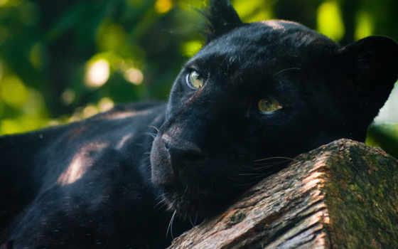 panther, хищник, кот