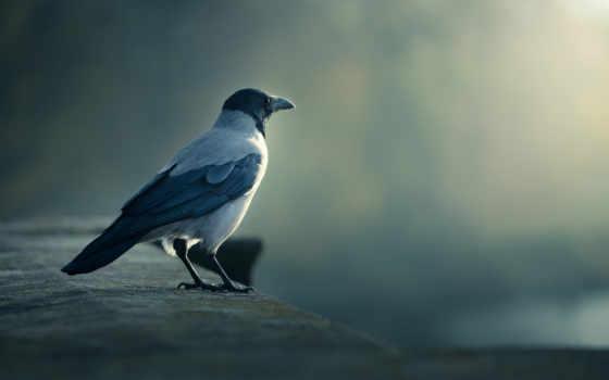 ворона, птица, ворон