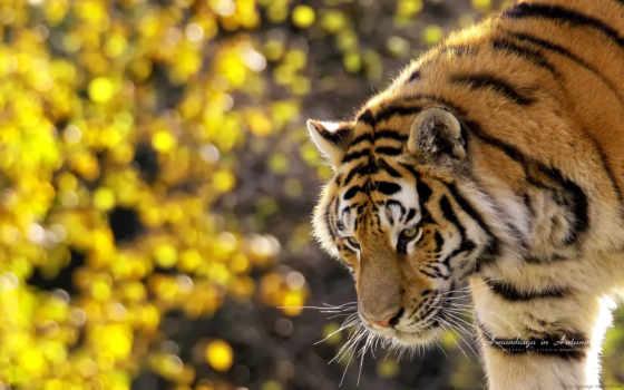 natureza, imagens, tigre, bela, para, animais, mais, lindas, resultado,