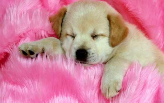 милые, щенята, cute, dogs, pet, собака, вконтакте, ir, золотистый,