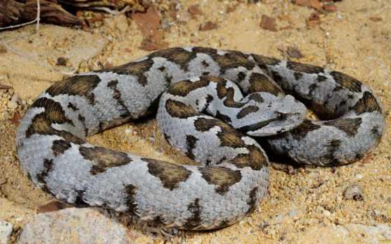 viper, online, puzzle, сне, болгарии, xanthina, vipera, змей, малоазиатская, соперница,