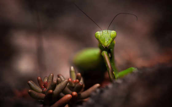 текст, макро, красивые, mantis, насекомое, animal, images, растение,