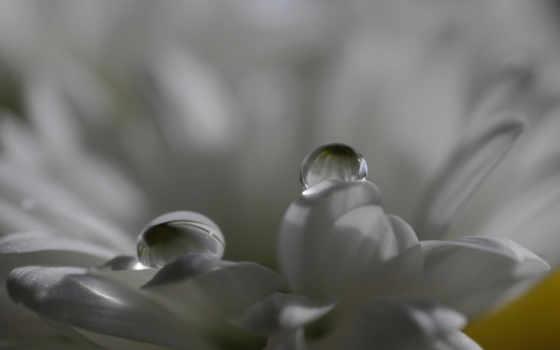 макро, цветы, water, капли, роса, лепестки, телефон,