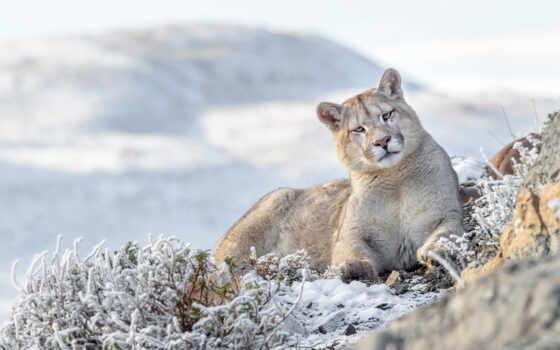 animal, puma, cougar, тема, кот, tapety, fond, achat, млекопитающее, lion