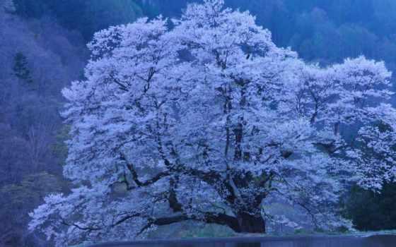 Сакура, япония, природа