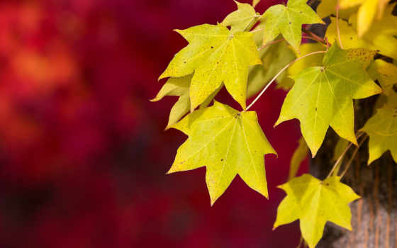 осень, макро, red, листва,