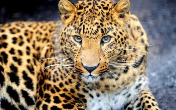 леопард, морда, хищник, взгляд, animal, окрас,