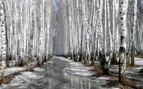 весна, grove, березы, снег, тает, siberian, landscape,