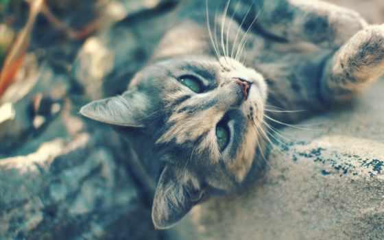 кот, свет, кошки, зеленые, серый, лежит, взгляд, ус,