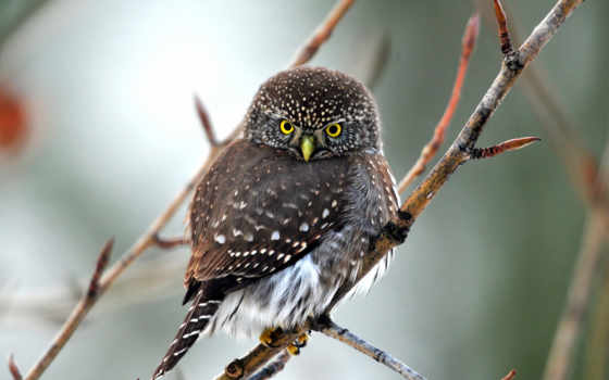 сова, совы, природа, птица,