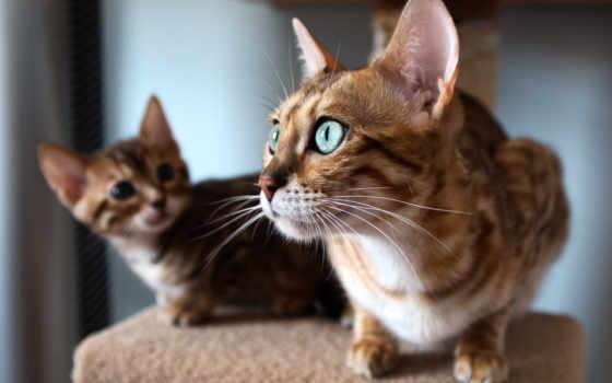 кошек, породы, кот, mani, kao,
