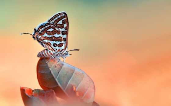 бабочка, desktop, насекомое, природа, макро, лист,