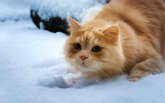 кот, red, взгляд, снег,