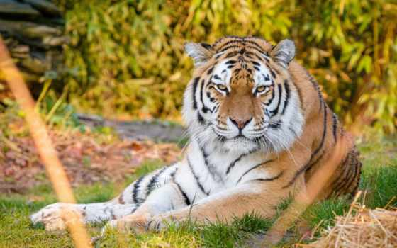 тигр, animal, cover, канал, youtube, mobile, телефон, best, loaded, уж