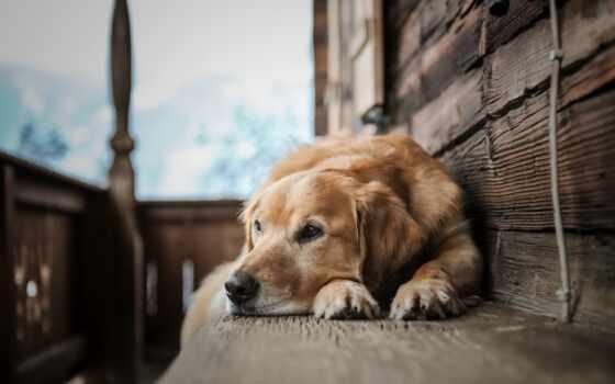 собака, widescreen, качество, фон, resolution, отдых, abyss, золотистый, retriever, animal