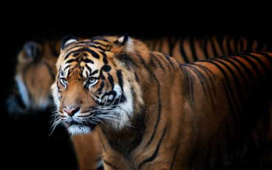 indian, тигр, national, флаг, wild, армия, кот