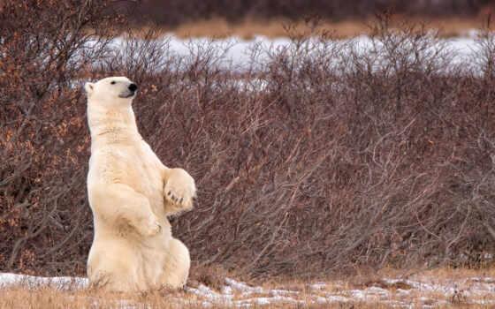 медведь, animal, white, free, лапа, northern, polar, снег
