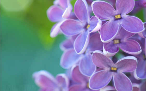 flores, fotos, lilas
