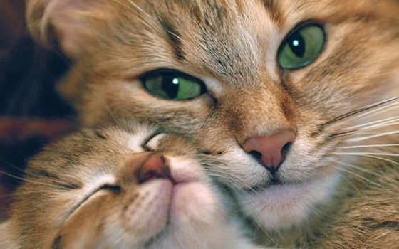 кошки, любов, mama, ребенок, зеленые, glaza, нежность,