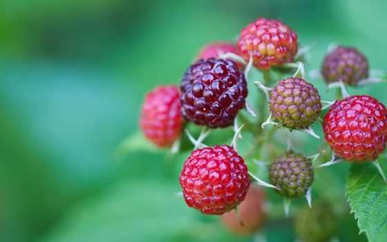 ягоды, branch, листва, малина, трава, зелёный,
