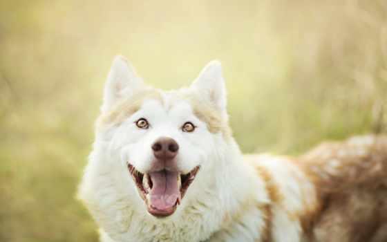 собаки, радость, собака, zhivotnye, взгляд, питомец, австралийская, снег, хаски, овчарка,