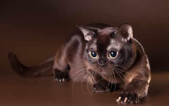 бурманская, кот, кошек, бурма, породы, кошки, история, кошку,