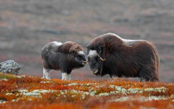 овцебык, картинка, national, park, доврефьель, сунндалсфьелла, norwegian,