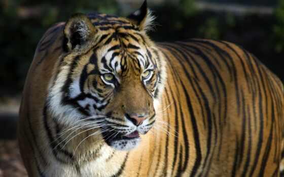 тигр, твой, интерьер, animal, save, pinterest, фотообои