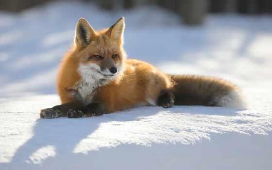 фокс, animal, заставка, снег, площадь, информ