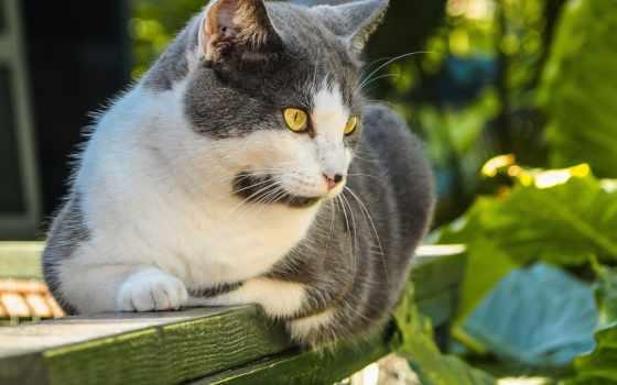 серый, кот