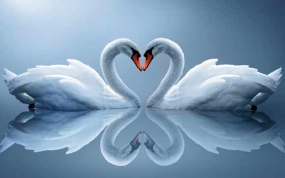 лебеди, отражение