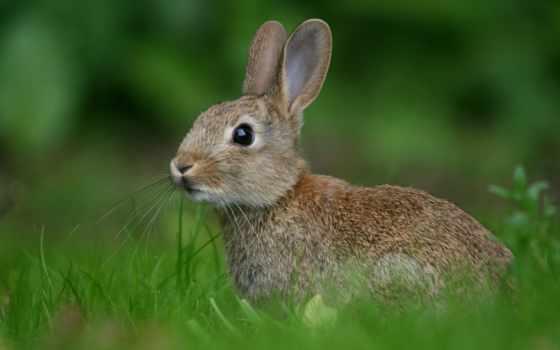 russia, кролик, животных