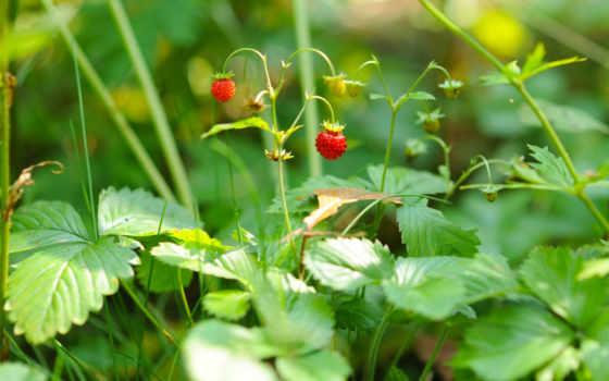 земляника, ягоды, еда